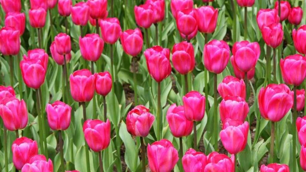 dauerbl her f r den garten wie man tulpen am leben h lt leben. Black Bedroom Furniture Sets. Home Design Ideas