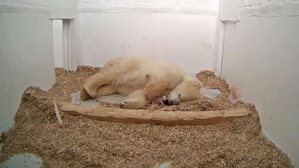 Eisbärin Tonja bringt Baby in Berliner Tierpark zur Welt