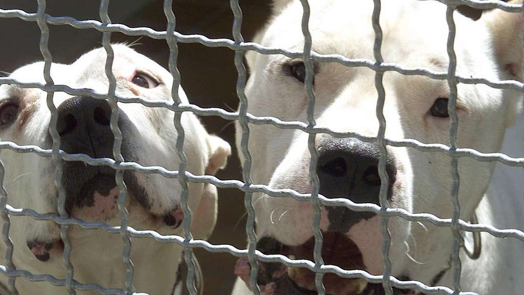 Argentinische Doggen greifen Besitzer an - Polizei schießt