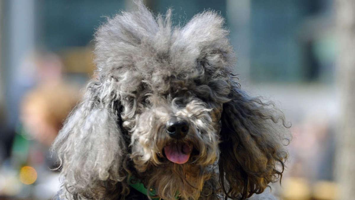 Strafe für Hundebesitzerin mit 113 Pudeln