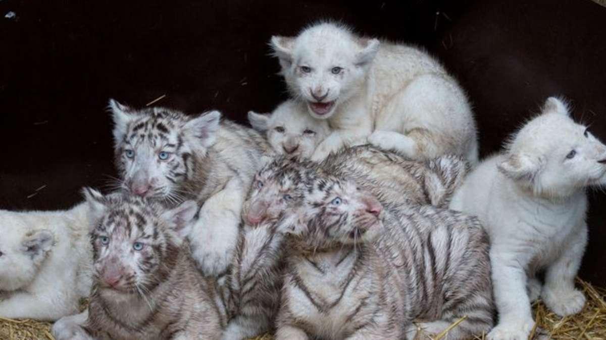 seltener nachwuchs im serengetipark wei e tiger und l wenbabys welt. Black Bedroom Furniture Sets. Home Design Ideas