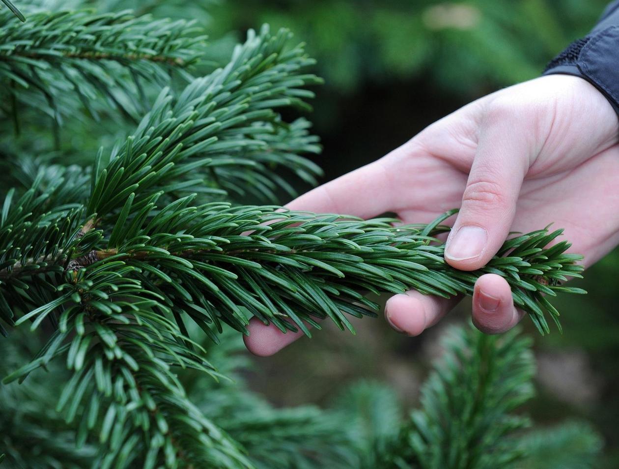 Künstlicher Weihnachtsbaum München Kaufen.Verbraucher Tipps Alle Die Fakten Zum Weihnachtsbaum Leben