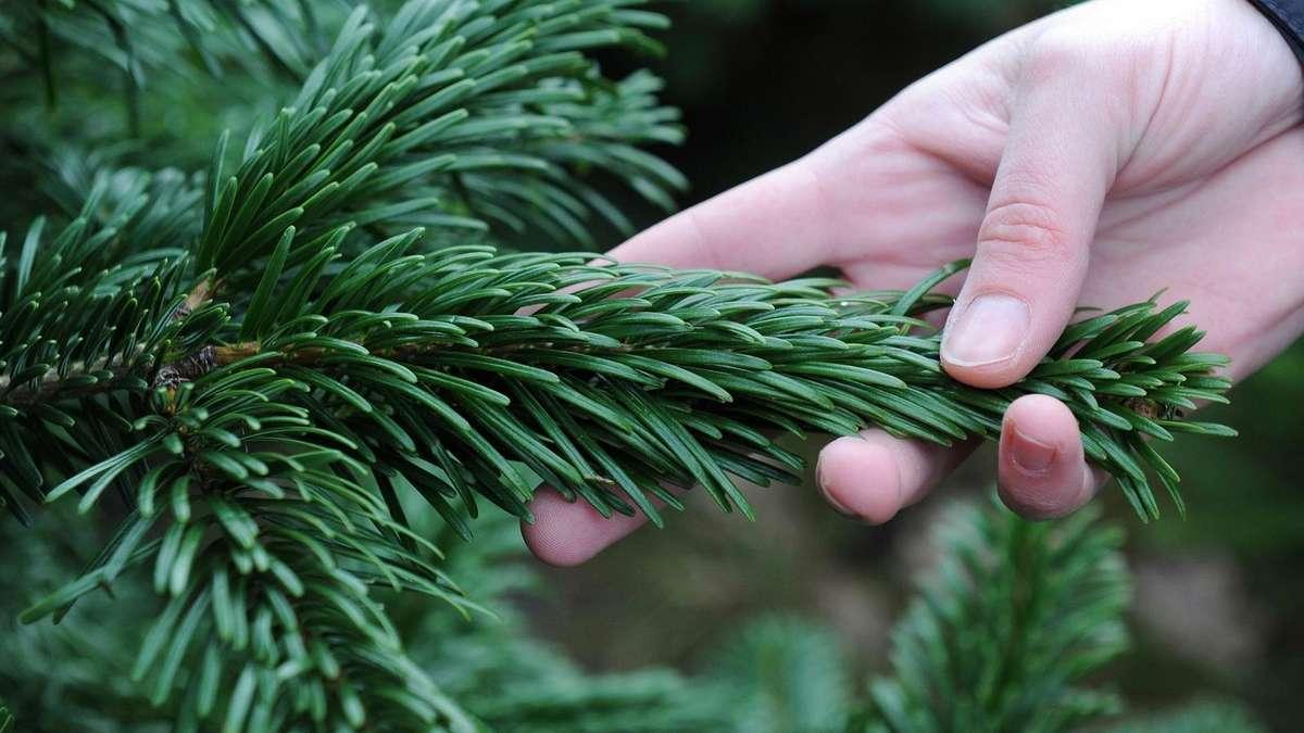 verbraucher tipps alle die fakten zum weihnachtsbaum leben. Black Bedroom Furniture Sets. Home Design Ideas
