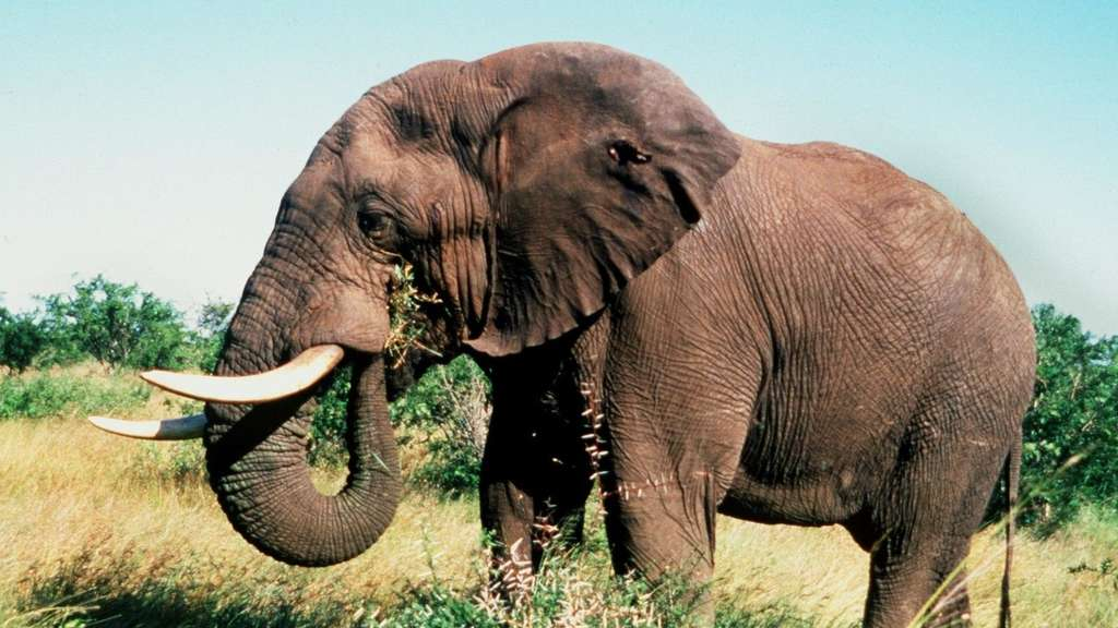 afrikanischer elefant vom aussterben bedroht tiere. Black Bedroom Furniture Sets. Home Design Ideas
