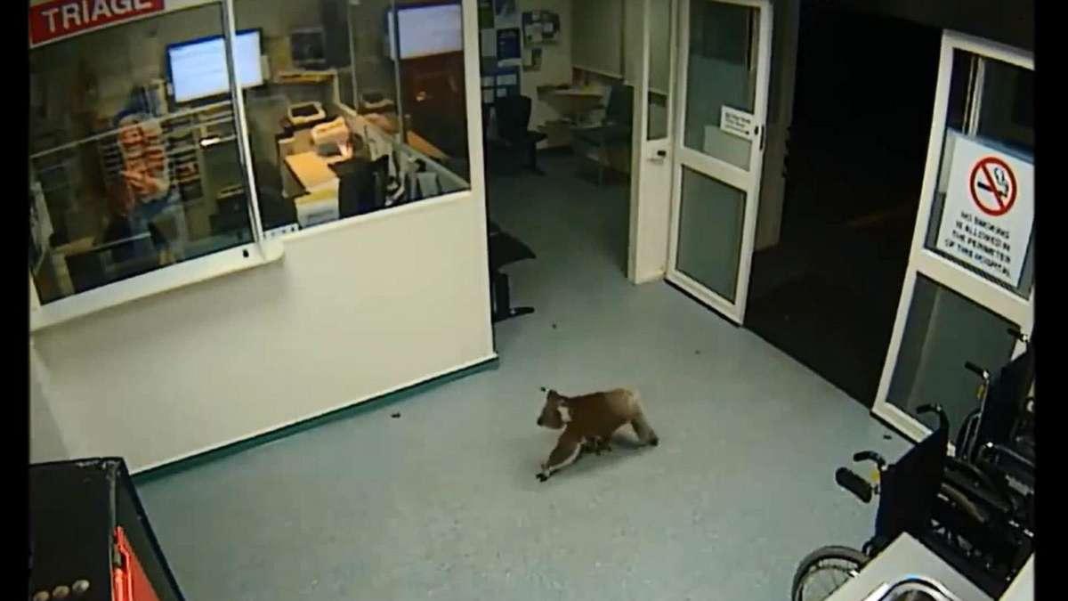 putzig koala im krankenhaus tiere. Black Bedroom Furniture Sets. Home Design Ideas