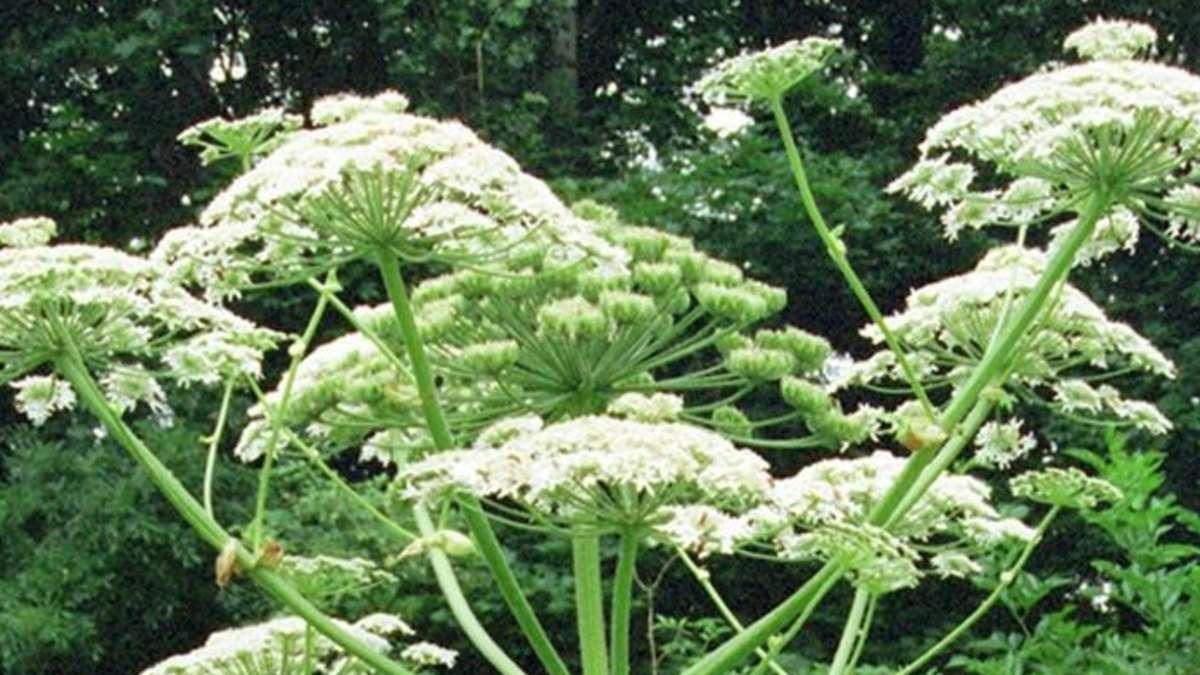 achtung diese pflanze sorgt im sommer f r schwere verbrennungen gesundheit. Black Bedroom Furniture Sets. Home Design Ideas