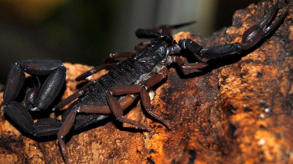 skorpion in keller bei riedmoos entdeckt potentiell f r menschen gef hrlich stadt. Black Bedroom Furniture Sets. Home Design Ideas