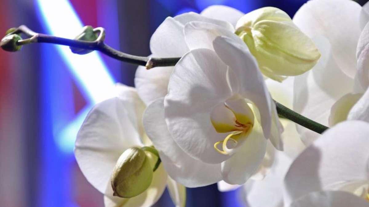 gegen l use an der orchidee hilft ein spiritusgemisch wohnen. Black Bedroom Furniture Sets. Home Design Ideas