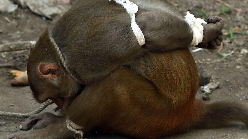Affenschande Wie Unsere Nachsten Verwandten Leiden Tiere