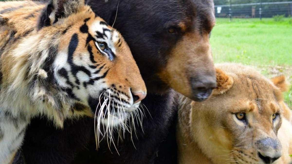 Tierisch Beste Freunde Löwe Tiger Und Bär Leben Zusammen Tiere