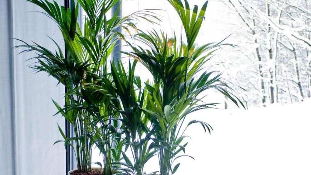 Lichtbedarf pflanzen nah ans fenster stellen wohnen - Zimmerpflanzen dunkel ...