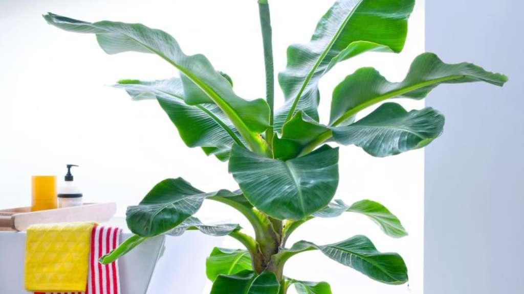 bananenpflanze wird zu gro teil der unterst mme entfernen wohnen. Black Bedroom Furniture Sets. Home Design Ideas