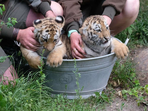 Zoo Leipzig: Tigerzwillinge in Zinkwanne getauft