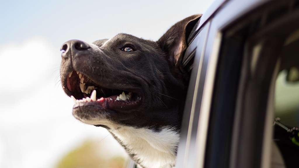 hund im auto mitnehmen das sollten sie beachten auto. Black Bedroom Furniture Sets. Home Design Ideas