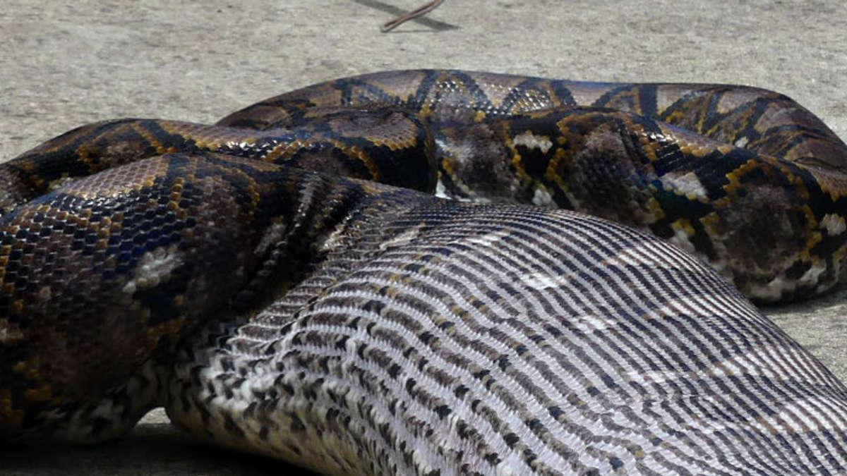 Frau wurde in Indonesien von Python verschlungen